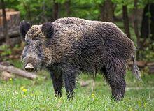 wild boar  image